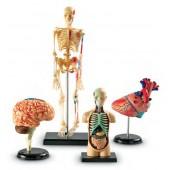 Conjunto de modelos de anatomia - ler3338