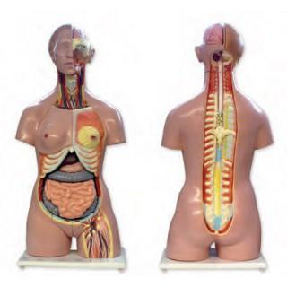 Torso humano bisexuado 24 partes - 48500010